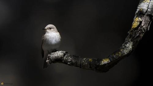 Grauwe vliegenvanger - Spotted Flycatcher 10