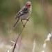 Grauwe vliegenvanger - Spotted Flycatcher 09