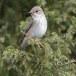 Grauwe-vliegenvanger-Spotted-Flycatcher-12
