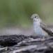 Grauwe-vliegenvanger-Spotted-Flycatcher-13
