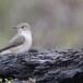 Grauwe-vliegenvanger-Spotted-Flycatcher-15