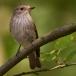 grauwe-vliegenvanger-spotted-flycatcher-02