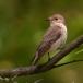 grauwe-vliegenvanger-spotted-flycatcher-04