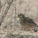 griel-stone-curlew-01