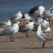 grijskopmeeuw-grey-headed-gull-03