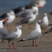 grijskopmeeuw-grey-headed-gull-04