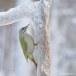Grijskopspecht - Grey-headed Woodpecker 05