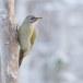 Grijskopspecht - Grey-headed Woodpecker 06