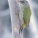 Grijskopspecht - Grey-headed Woodpecker 07