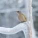 Grijskopspecht - Grey-headed Woodpecker 08