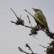 grijskopspecht-grey-headed-woodpecker-01