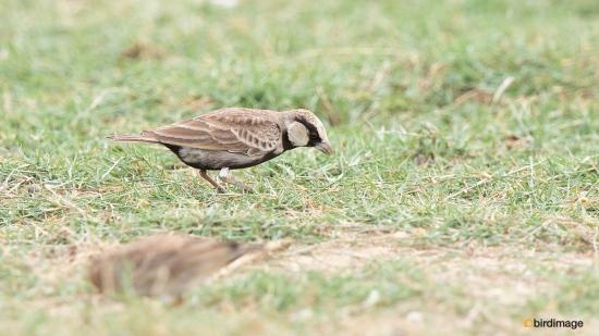 Grijskruinvinkleeuwerik-Ashy-crowned-sparrow-lark-05