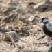 Grijskruinvinkleeuwerik-Ashy-crowned-sparrow-lark-01