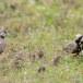 Grijskruinvinkleeuwerik-Ashy-crowned-sparrow-lark-02