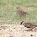 Grijskruinvinkleeuwerik-Ashy-crowned-sparrow-lark-03