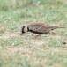 Grijskruinvinkleeuwerik-Ashy-crowned-sparrow-lark-04
