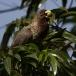 grijze-bananeneter-western-plantain-eater-01