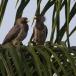 grijze-bananeneter-western-plantain-eater-06