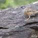 Grijze-gors-Rock-bunting-22