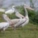 Grijze-pelikaan-Spot-billed-pelican-01