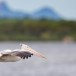 Grijze-pelikaan-Spot-billed-pelican-02