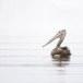 Grijze-pelikaan-Spot-billed-pelican-03