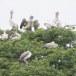 Grijze-pelikaan-Spot-billed-pelican-05