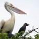 Grijze-pelikaan-Spot-billed-pelican-07