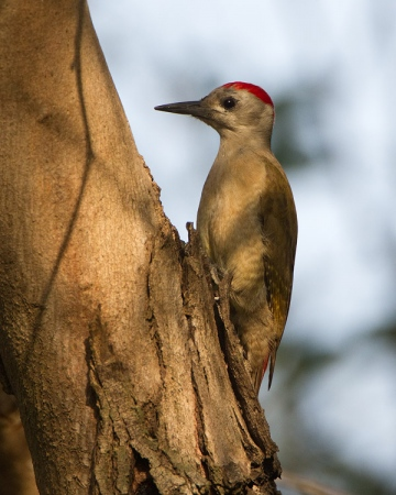 grijze-specht-grey-woodpecker-06