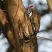 grijze-specht-grey-woodpecker-01