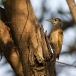 grijze-specht-grey-woodpecker-02