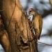 grijze-specht-grey-woodpecker-03