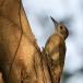 grijze-specht-grey-woodpecker-05