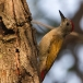 grijze-specht-grey-woodpecker-07