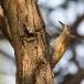 grijze-specht-grey-woodpecker-08