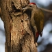 grijze-specht-grey-woodpecker-09