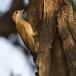 grijze-specht-grey-woodpecker-10