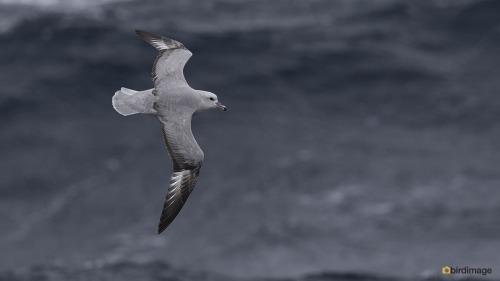 Grijze stormvogel_Southern Fulmar05