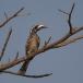 grijze-tok-grey-hornbill-03