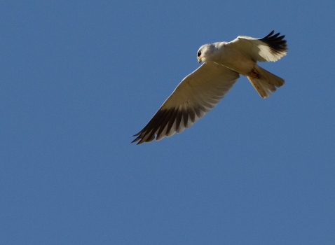 grijze-wouw-black-winged-kite-01