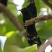 groene-kakelaar-green-wood-hoopoe-10