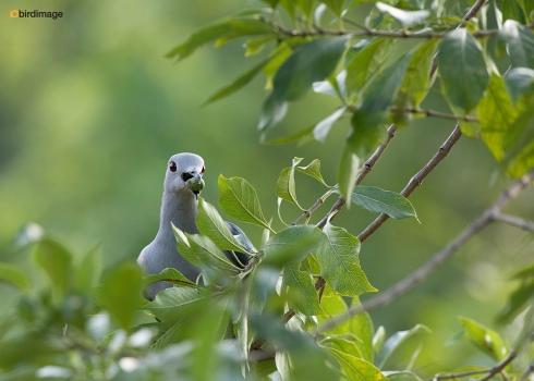 Groene-muskaatduif-Green-imperial-pigeon-01