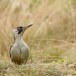 Groene specht - Green Woodpecker 07