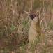 groene-specht-green-woodpecker-03