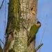 groene-specht-green-woodpecker-06