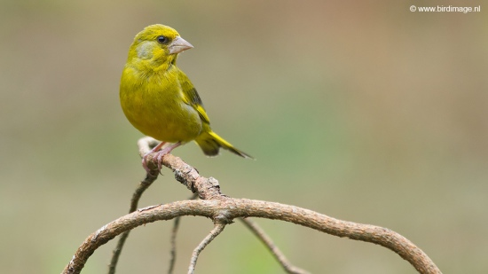 Groenling - Greenfinch 02