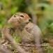 grondeekhoorn-ground-squirrel-02