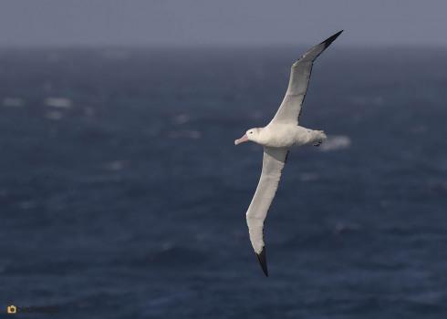 Grote Albatros_Wandering Albatross10