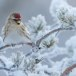 Grote barmsijs - Mealy Redpoll  05