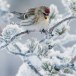 Grote barmsijs - Mealy Redpoll  06